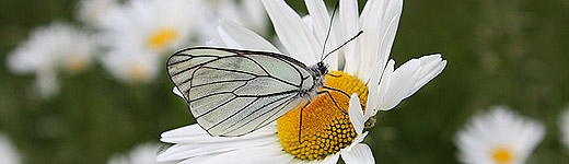 Schmetterling-1